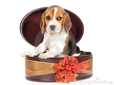 beagle-puppy-inside-round-gift-box-10051168